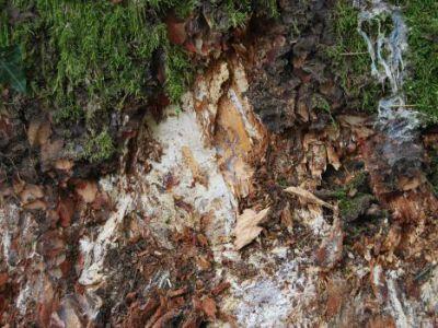 Evidenza di micelio di armillaria mellea