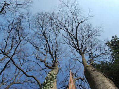 Celtis australis-bagolaro:punti di ancoraggio per tree climing