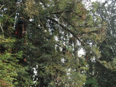 potatura utilizzando la tecnica del tree climbing
