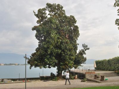 Potatura Magnolia sul Lago di Garda prima