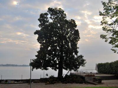 Potatura Magnolia sul Lago di Garda dopo