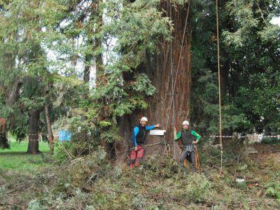 Potatura sequoia monumentale