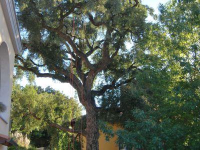 Potatura in tree climbing Quercia da sughero monumentale
