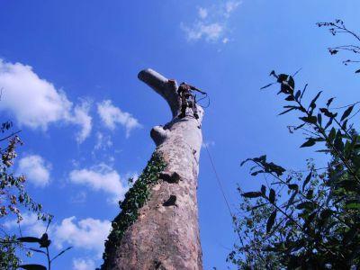 Abbattimento in tree climbing platano