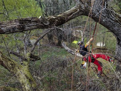 Potatura castagno secolare in tree climbing