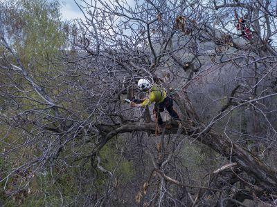 Potatura in tree climbing